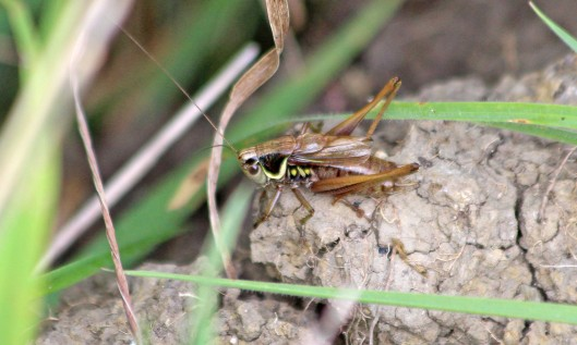 210925 roesel's bush-cricket (4)