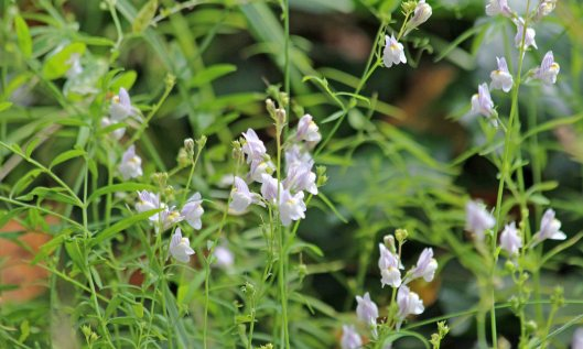 210926 pale toadflax (1)