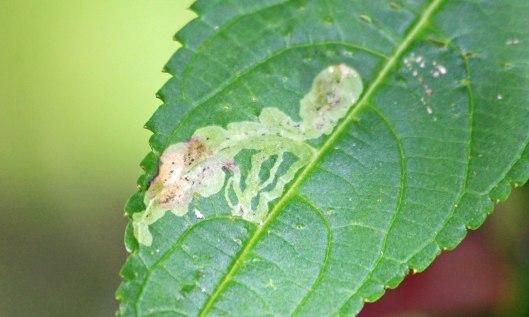 210927 Phytoliriomyza melampyga