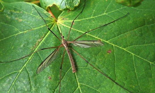 210928 craneflies (2)
