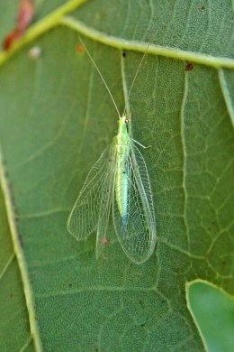 210929 lacewing adult