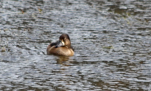 211007 ring-necked duck (1)