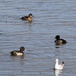 211007 ring-necked duck (2)