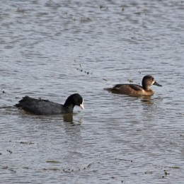 211007 ring-necked duck (3)