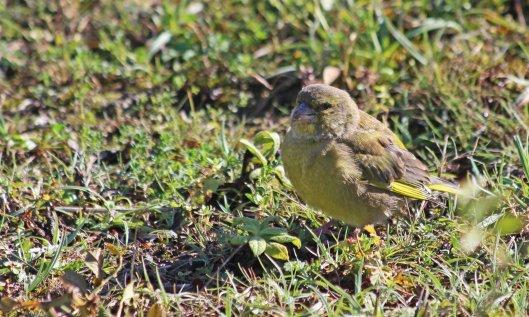 211009 greenfinch (1)
