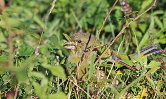 211009 greenfinch (2)