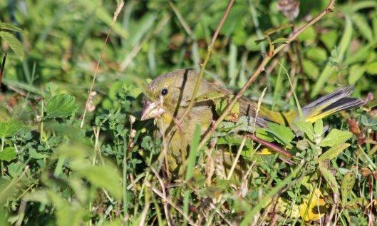 211009 greenfinch (3)