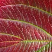 211010 red leaves (3)