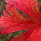 211010 red leaves (5)