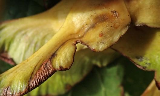 211011 Ectoedemia sericopeza on norway maple (2)