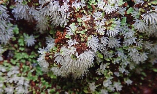 211015 Ceratiomyxa fruticulosa (3)