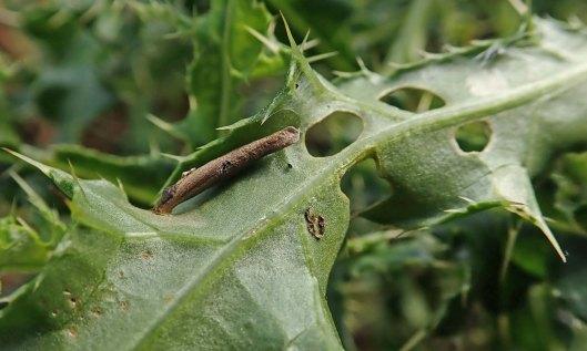 211018 Coleophora peribenanderi (2)